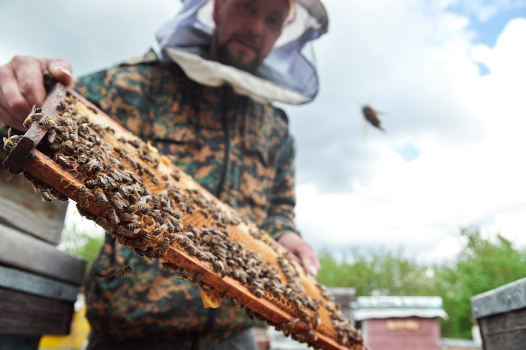 A beekeeper holding a honeycomb full of bees.